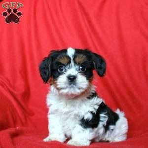 Reba Shichon Puppy For Sale In Nottingham Pa Lancaster Puppies Puppies For Sale Shichon Puppies For Sale Shichon Puppies