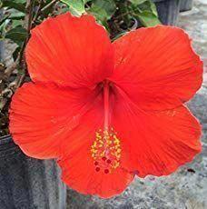 Hibiscus Flower Benefits In Hindi Hibiscus Growing Hibiscus Hibiscus Tree Hardy Hibiscus