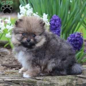 A Pomeranian Puppy Named Betsie Pomeranian Puppy For Sale Pomeranian Puppy Puppies For Sale