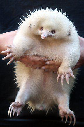 Albino Echidna Eines Der Seltensten Tiere Der Welt Albino Der