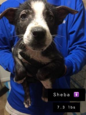 Adopt Sheba On Adoption Pets Dogs
