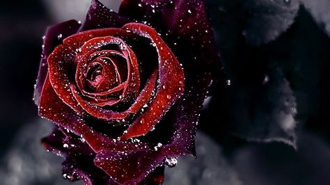 Kis Color Ke Rose Ka Matlab Kya Hota Hai Rose Colours Meaning Rose Flower Wallpaper Red Rose Flower Red Flower Wallpaper