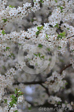 This Tree Blossomed From The Middle Of April Until The End Of April Many Colors A Bright Smell Blossom Cherry Blossom Tree Blossom Trees
