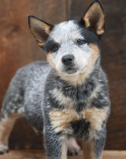 Australian Cattle Dog Puppies For Sale Los Angeles Ca In 2020