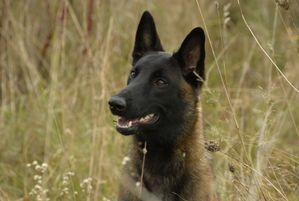 Malinger Kennels Photos In 2020 Kennel Photo Belgian Malinois