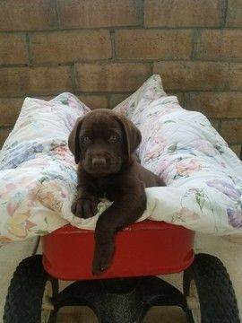 Labrador Retriever Puppy For Sale In Los Angeles Ca Adn 70956 On