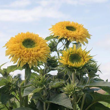 Lemonade Sunflower Seed Johnny S Selected Seeds Organic Plants Plants Flower Farm