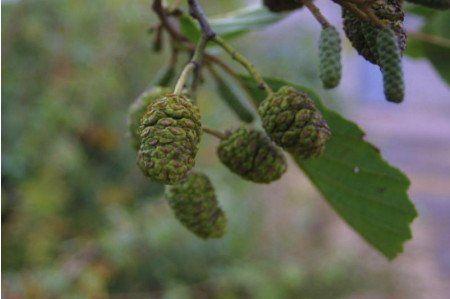 Alder Common Alder Tree Hedging Plants Large Plants