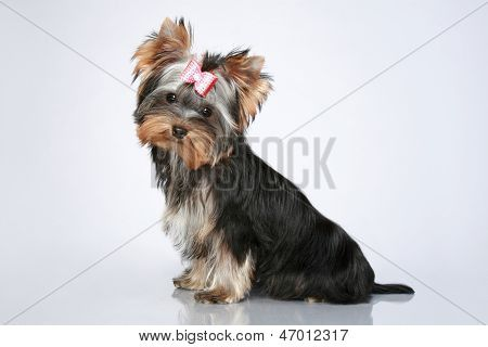Yorkshire Terrier Puppy Poster Yorkshire Terrier Puppies Yorkshire Terrier Yorkshire Terrier Dog
