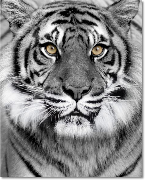 Red Wall Art, Glass Wall Art, Wall Art Decor, Beautiful Cats, Animals Beautiful, Beautiful Pictures, Cute Baby Animals, Animals And Pets, Tiger Art