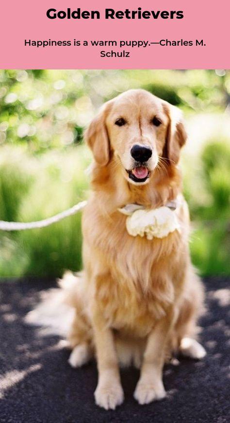 Golden Retriever Puppy Goldenretrievers Goldenretrieverpuppy