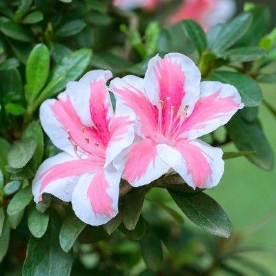 Azalea Conversation Piece 2 5qt U S D A Hardiness Zones 7 11 1pc National Plant Network Flowering Shrubs Large Flower Pots Unusual Flowers