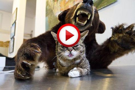 Cat Vs Bear Fight Video #animals, #cats, #funny, #bears, #videos, #pinsland, https://apps.facebook.com/yangutu