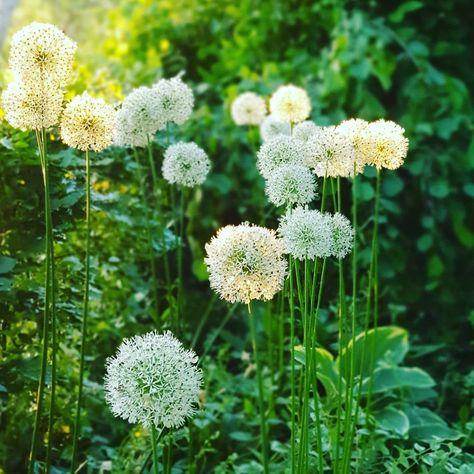 2538 gilla-markeringar, 49 kommentarer - Annika Christensen (@annikasnaturligating) på Instagram: Så var det där med vita blommor i kvällsljus. Kan man ha förmånga vita blommor? Allium Mout Everest…