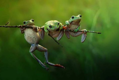 Harfian Herdi's - frogs in Indonesia.