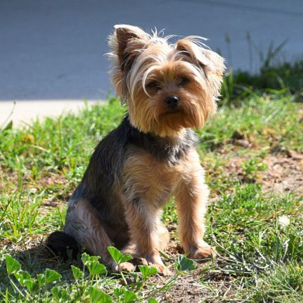 Dog Secrets The Fastest Way To Your Dream Yorkshire Terrier Yorkshire Terrier Yorkshireterrier Yorkshire Terrier Puppies Yorkshire Terrier Yorkie Terrier