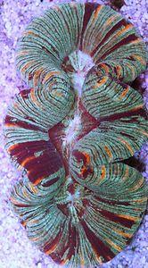 Trachyphyllia Brain Coral lps sps marine salt live rare water fish soft frag