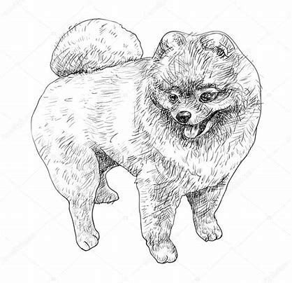 Image Result For Pomeranian Coloring Pages Pomeranian Colors