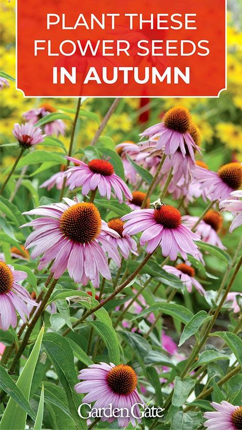Perennial seeds to plant in fall - Perennial seeds to plant in fall Plants & Gardening Plant these flower seeds in late fall - Perennials Fabric, Shade Perennials, Flowers Perennials, Full Sun Perennials, Autumn Flowering Plants, Fall Plants, Garden Plants, Indoor Plants, Planting Flowers From Seeds