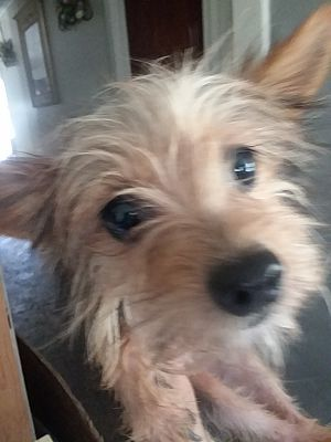 Inverness Fl Yorkie Yorkshire Terrier Meet Benji A Pet For