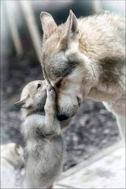 Check out our puppy gallery for more incredibly adorable dogs and puppies! Wolf Photos, Wolf Pictures, Animal Pictures, Wolf Images, Beautiful Wolves, Animals Beautiful, Nature Animals, Animals And Pets, Cute Baby Animals