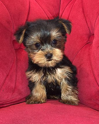 Pocket Puppies Boutique Chicago Available Puppies Puppies Yorkie Teddy Bear