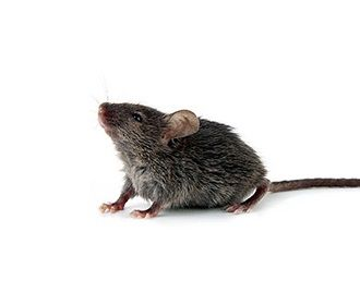House Mouse Mus Musculus Mice Control Mice Prevention Getting Rid Of Mice