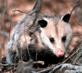 This Is A Tlacuache Or Opossum They Are Common Animals In