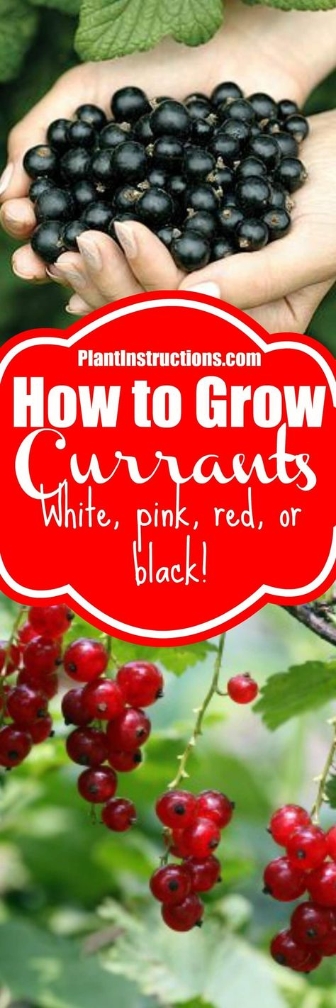 Learn how to grow currants in your garden with our easy to follow gardening guide! Choose from white pink red or black currants and enjoy the harvest! via Plant Instructions #currants #fruitgarden #gardening