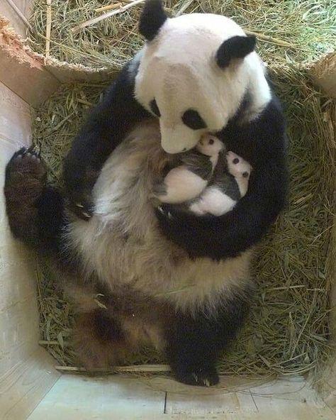 150 Pandas Ideas Panda Bear Panda Love Cute Panda