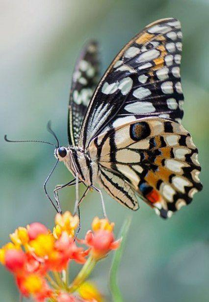 Flowers Photography Butterflies Papillons 31 Ideas Beautiful Butterfly Photography Butterfly Pictures Beautiful Butterflies