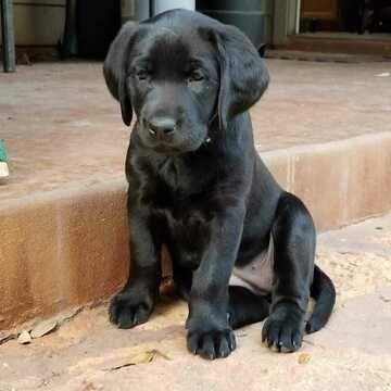 Litter Of 2 Labrador Retriever Puppies For Sale In Leander Tx Adn 120532 On Puppyfinder Com Gender Female Age Labrador Retriever Labrador Puppies For Sale