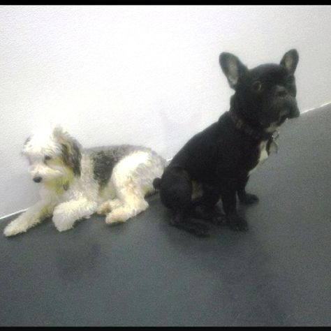 French Bulldog And Chinese Crested Powderpuff With Images