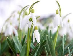 Intriguing Legends On The Symbolism Of The Pristine Snowdrops Gardenerdy Flower Meanings Bulbous Plants Herbaceous Perennials