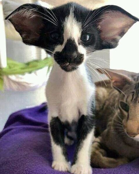 If a cat has an affair with a bat h - Lustige Tiere Hund - Gatos Cute Animal Memes, Funny Animal Pictures, Funny Animals, Cute Animals, Cute Kittens, Cats And Kittens, Singapura, Hypoallergenic Cats, American Bobtail