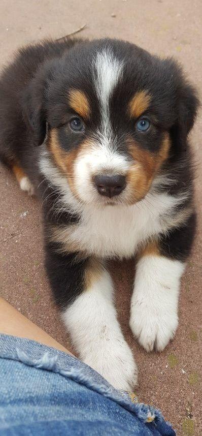Pin By Brenda On Australian Shepherds Aussie Dogs Australian Puppies Dogs