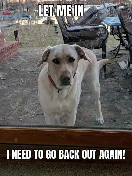 Barking Laughs Labrador Meme Let Me In I Need To Go Back Out Again Funny Meme Dogs Barkinglaughs Dogsstuffsumm Funny Dog Memes Dog Memes Labrador Funny