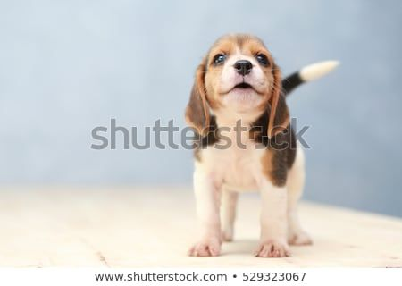 Small Cute Beagle Puppy Dog Looking Up Cute Beagles Dogs And