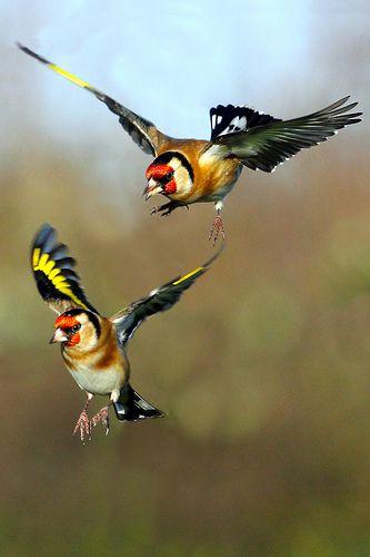 JILGUERO EUROPEO European Goldfinchs