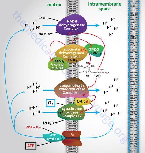 Flow of electrons during oxidative phosphorylation