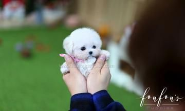 Welcome To Foufou Puppies The Home Of The World S Most Exquisite Micro Teacup Puppies For Sale A Teacup Puppies Teacup Puppies For Sale Teacup Poodle Puppies
