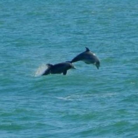 Dolphins playing off the shore at Topsail Island, NC. 2011