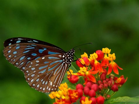 Beautiful New Butterfly Pics Beautiful Natural Scenery 1 Black Butterfly Perched On A Beautiful Butterfly Wallpaper Most Beautiful Butterfly Butterfly Images