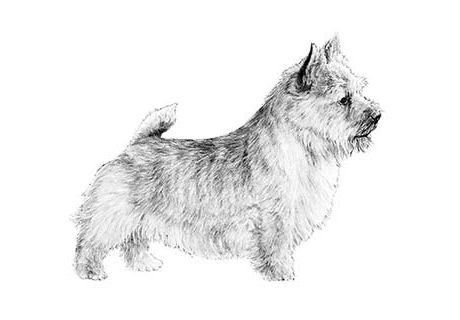 Sandspur Has Norwich Terrier Puppies For Sale In Ocala Fl On Akc