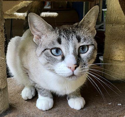 Danbury Ct Siamese Meet Pumpkin A Pet For Adoption In 2020 Pet Adoption Pets Siamese
