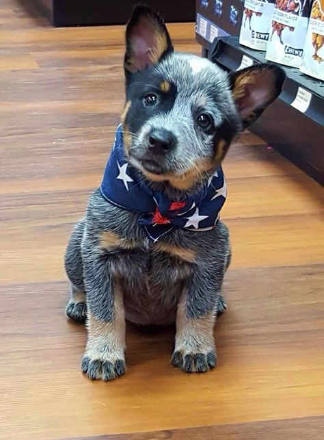 Blue Heeler - Australian Cattle Dog - Renowned for their Intelligence, Loyalty, Courage, Alertness & Protective Instinct Rated Cute Puppies, Cute Dogs, Dogs And Puppies, Doggies, Baby Dogs, Cute Baby Animals, Funny Animals, Animals Dog, Austrailian Cattle Dog