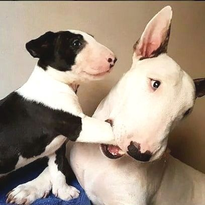Pin By Dee On Dogs Are Great Bull Terrier English Bull Terriers
