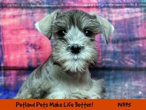 Dogs Puppies For Sale Petland Chicago Ridge Illinois Pet Store Puppies For Sale Dogs Puppies Puppies