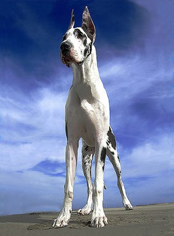 I Love Great Danes They Have No Small Man Syndrome They Love