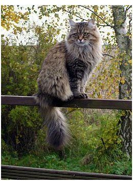 10 Large Cat Breeds All The Basics About Big House Cats Big House Cats Breeds Bighousecatsbreeds The Bigger Cat Breeds Big House Cats Fluffy Cat Breeds